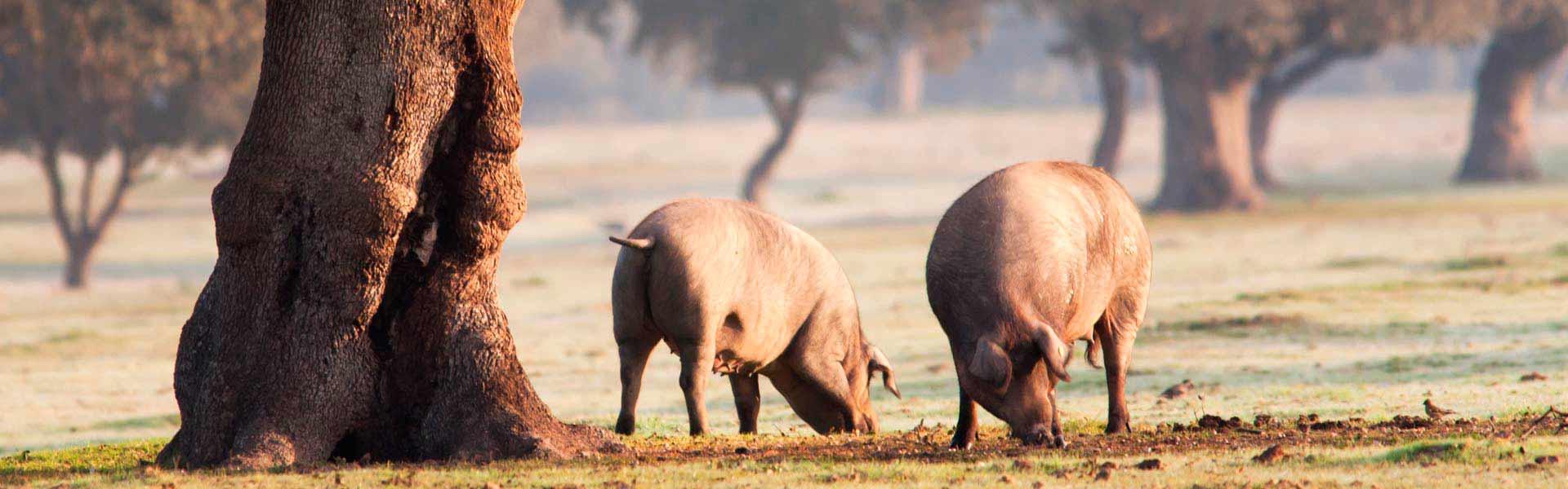 Cerdos Dehesa